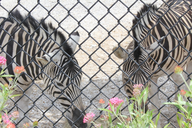 Naples Zoo Zebras