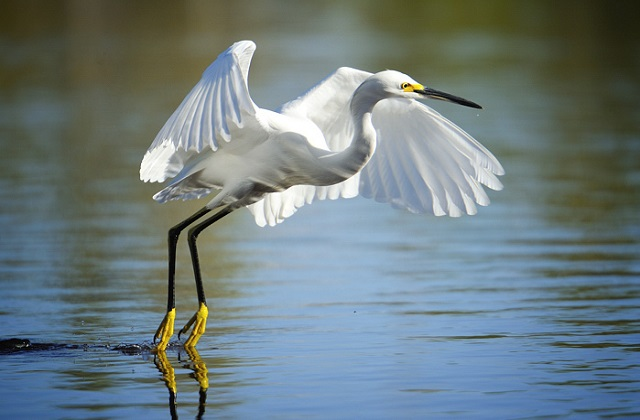 Egret Seen From an Air Boat Tour