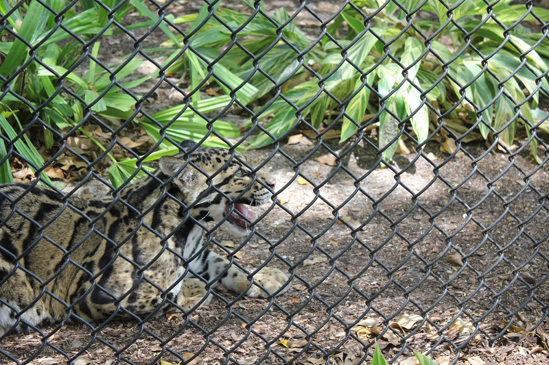 Naples Zoo Clouded leopard