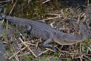 Greater Naples Parks - Everglades National Park Alligator